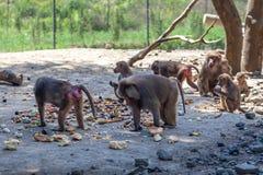 Grupp av apor i den Tbilisi zoo Royaltyfria Bilder