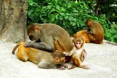 Grupp av apor som äter och gör sig ren nära Swayamben Royaltyfri Bild