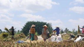 Grupp av asiatiska bönder som skördar ris på Paddy Field 4K FEBRUARI 06 2017 - Bali, Indonesien arkivfilmer
