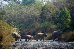 Grupp av asiatiska elefanter som korsar den Karnali floden i Nepal Fotografering för Bildbyråer