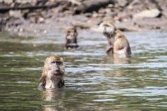 Grupp av att bada för apor Royaltyfria Foton