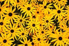 Grupp av att blomma skinande gula blommor royaltyfri bild