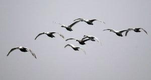 Grupp av att flyga för svanar arkivfoton