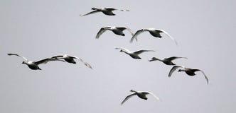 Grupp av att flyga för svanar royaltyfria bilder