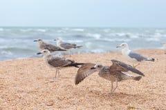 Grupp av attraktiva stora seagulls på stranden Royaltyfria Bilder