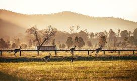 Grupp av australiska kängurur Arkivfoto