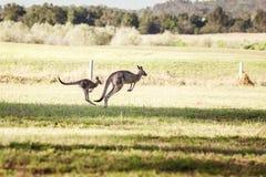 Grupp av australiska kängurur Fotografering för Bildbyråer