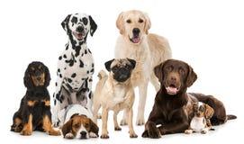 Grupp av avelhundkapplöpning arkivfoto