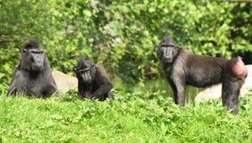 Grupp av babianer i fältet Royaltyfria Foton