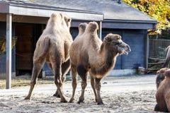 Grupp av bactrian kamel i en zoo Arkivbild
