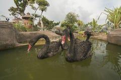 Grupp av badet för svart svan Arkivfoto