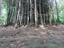 Grupp av bambu Arkivfoto