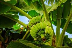 Grupp av bananen på ett träd Arkivfoto