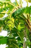 Grupp av bananer på träd Royaltyfria Foton