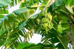 Grupp av bananer på träd Arkivbild