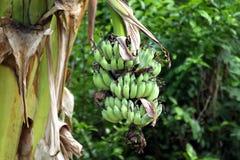 Grupp av bananer på träd Royaltyfri Bild