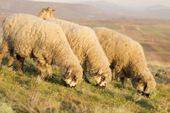 Grupp av betande gräs för får på ett härligt fält Royaltyfri Bild