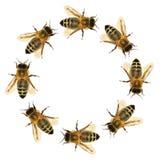 Grupp av biet eller honungsbit i cirkeln arkivfoto