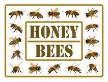Grupp av biet eller honungsbit på vit bakgrund, honungbin arkivbilder