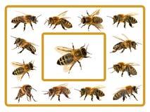 Grupp av biet eller honungsbit på vit bakgrund, honungbin fotografering för bildbyråer