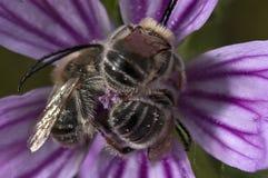 Grupp av bin på en blomma fotografering för bildbyråer