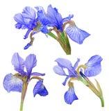 Grupp av blå irisblom som isoleras på vit Royaltyfri Fotografi
