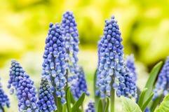 Grupp av blåa blommor för druvahyacint Arkivfoton