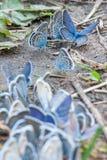 Grupp av blåa fjärilar på sandslinga royaltyfri fotografi