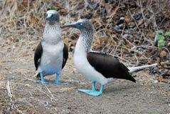 Grupp av blåa Footed dumskallar, Isla de la Plata, Ec Royaltyfri Foto