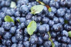 Grupp av blåbär Arkivbilder