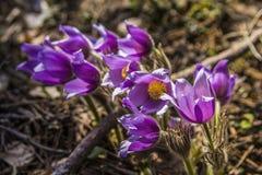 Grupp av blommande purpurfärgat primulasömn-gräs i skogen royaltyfria foton