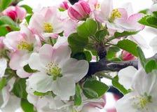 Grupp av blommor av domesticaen f?r Malus f?r ?ppletr?d i v?r Mjuk bakgrund f?r makrosikt royaltyfri bild