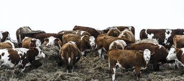Grupp av bovines i djup vinter Arkivfoton