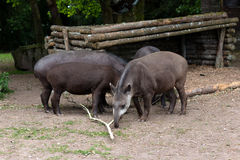 Grupp av brasilianska tapir arkivbild