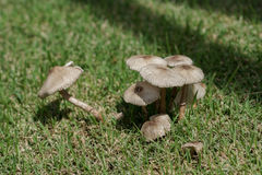 Grupp av bruna små champinjoner i gräs Fotografering för Bildbyråer