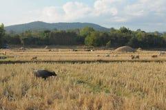 Grupp av buffelfamiljen som äter på risfält Royaltyfri Bild