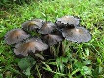 Grupp av champinjoner i gräset Royaltyfri Bild
