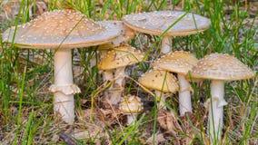 Grupp av champinjoner - som är rimliga eller som är liknande till flugsvampAmanitamuscariaen - i regulatorn Knowles State Forest  royaltyfri bild