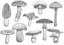Grupp av champinjonillustrationen, teckning, gravyr, vektor, linje Royaltyfri Illustrationer