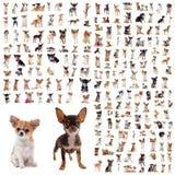 Grupp av chihuahuas royaltyfria bilder