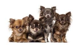 Grupp av chihuahuas Arkivbild