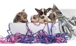 Grupp av Chihuahuavalpar i en närvarande ask med banderoller Arkivfoto