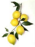 Grupp av citroner Arkivfoton