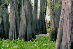 Grupp av cypressträd i det Atchafalaya träsket Royaltyfri Bild