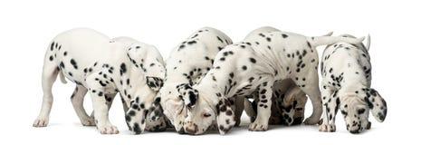 Grupp av Dalmatian äta för valpar Royaltyfri Fotografi
