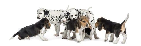 Grupp av dalmatian- och beaglevalpar som tillsammans äter alla Royaltyfria Foton