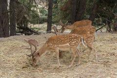 Grupp av Damadamaen för fyra dovhjortar som betar i skogen royaltyfri bild