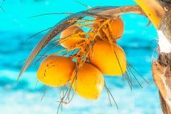 Grupp av de unga gula kokosnötterna på gömma i handflatantren Royaltyfri Foto