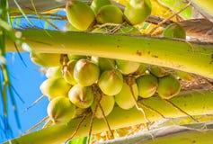 Grupp av de unga kokosnötterna Arkivbilder