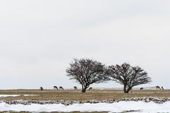 Grupp av deers i ett snöig landskap Royaltyfri Foto